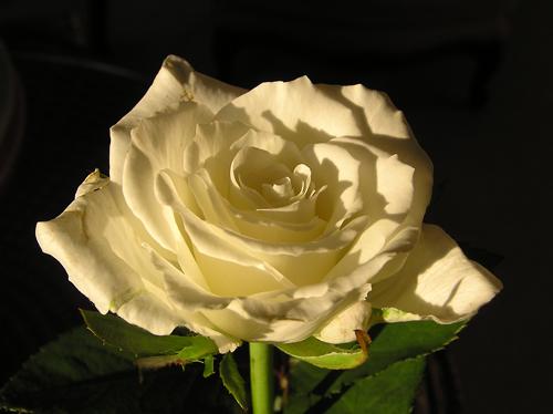 Rose blanche papillonbleuciel bienvenue dans mon univers cowblog - Adresse mail reclamation blanche porte ...